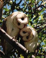 tom_bird owls